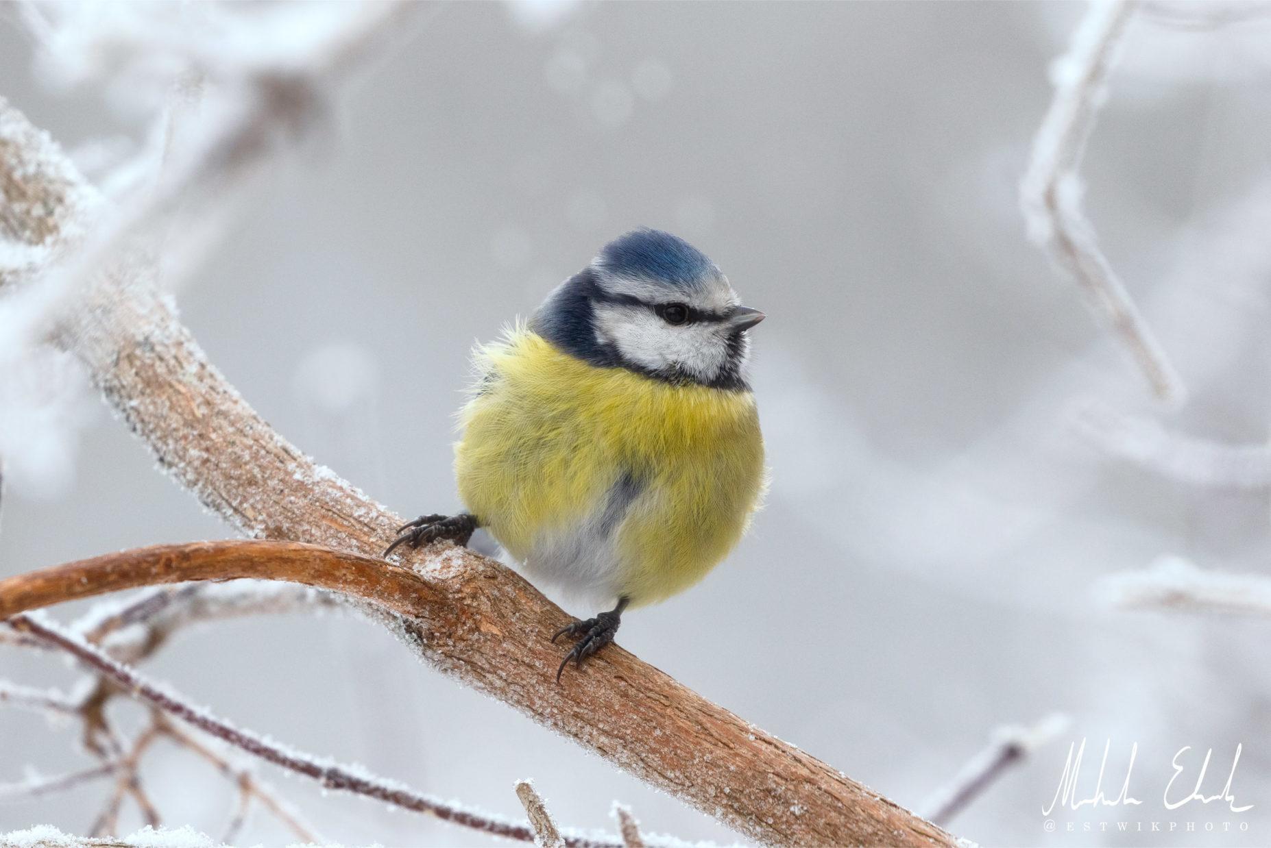 Blåmes i lätt snöfall