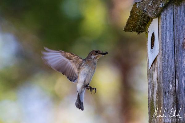 Svartvit flugsnapparhona med föda