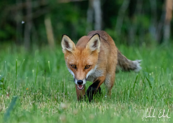 fox_028