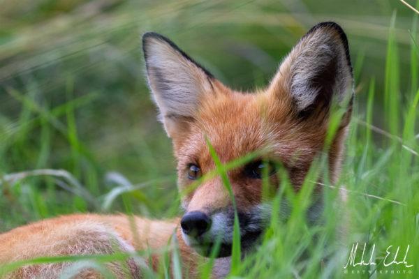 fox_035
