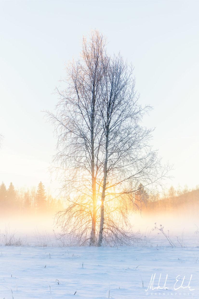 Björkar i solnedgång