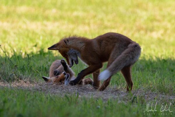 Rävmoder som leker med sin unge